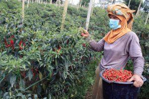 Petani Cabai merugi di terpa wabah